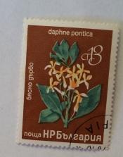 Daphne (Daphne pontica)