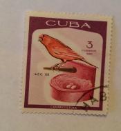 Domestic Canary (Serinus canaria forma domestica)
