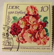 Bergers Rose iga Erfurt