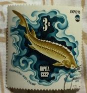 Осетр. Каспийское море