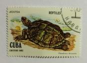 Cuban Slider (Pseudemys decussata)