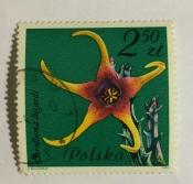 Caralluma lugardi, Asclepiadaceae