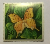 Antillean Daggerwing (Marpesia eleuchea eleuchea)