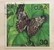 Caribbean Cracker (Hamadryas ferox diasia)