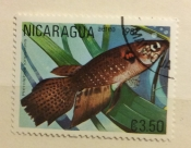 Long Fin Killifish (Pterolebias longipinnis)